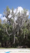Spanish Moss Blowing in the Wind