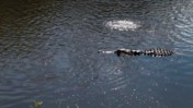Alligator Swimming with Fish