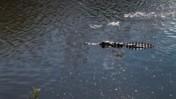 An Alligator Floating
