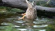 Duck Dabbling