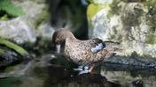 Juvenile Duck Preening