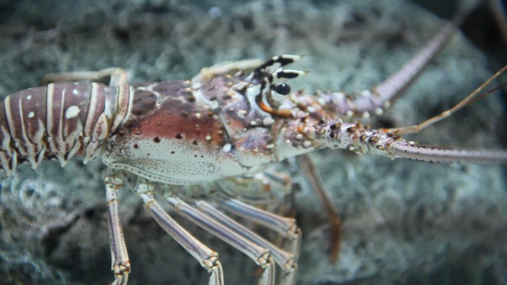 Lobster Diagram Spiny Lobster