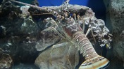 Lobster Climbing a Rock