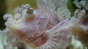 Rhinopias Close-Up