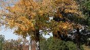 Fall Leaves in the Wind