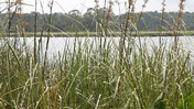 Tall Grasses by the St. Marks River