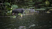 Alligator in the Marsh