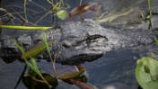 Alligator Submerged