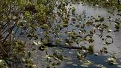 Still American Alligators Resting Amongst Aquatic Plants at Everglades National Park
