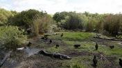American Alligators and Black Vultures at Everglades National Park